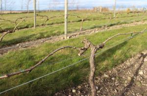Vinbeskärning mars 2014